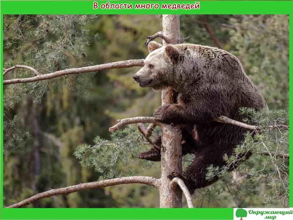 Медведи Свердловской области