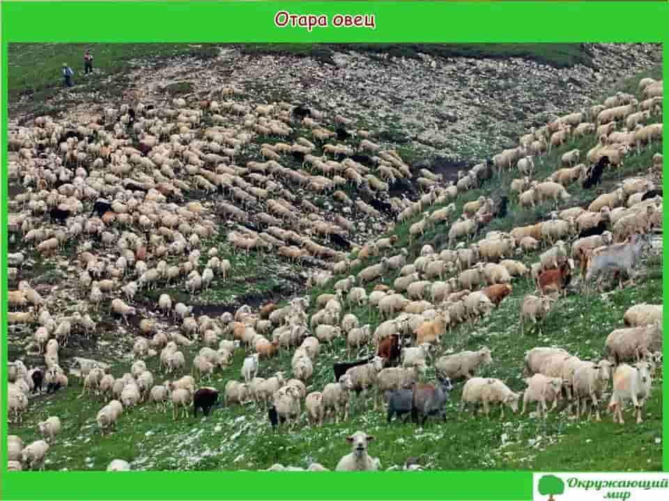 Овцы Дагестана