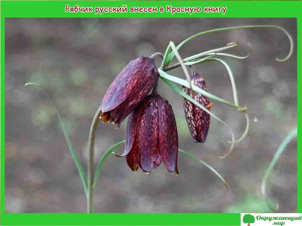 Рябчик русский растение из Красной книги