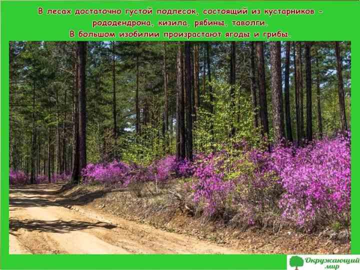 Цветы и ягоды Забайкальского края