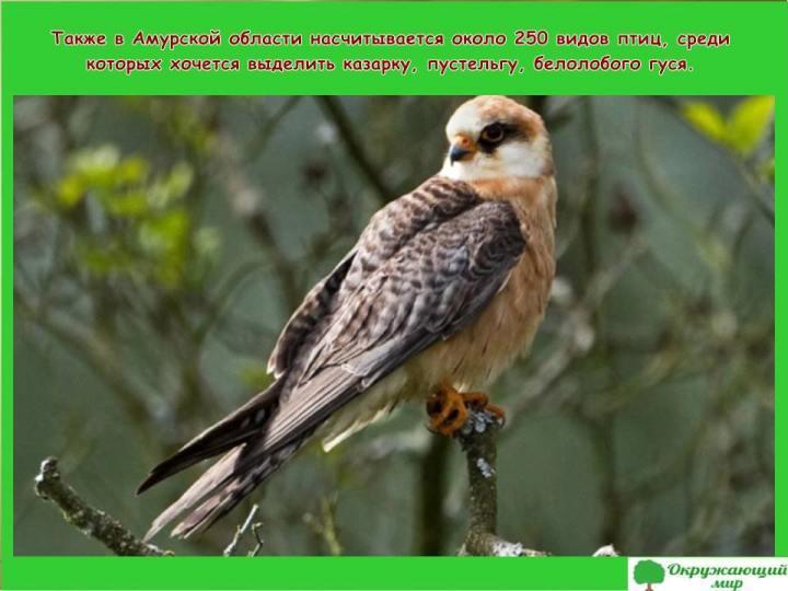 Птицы Амурской области