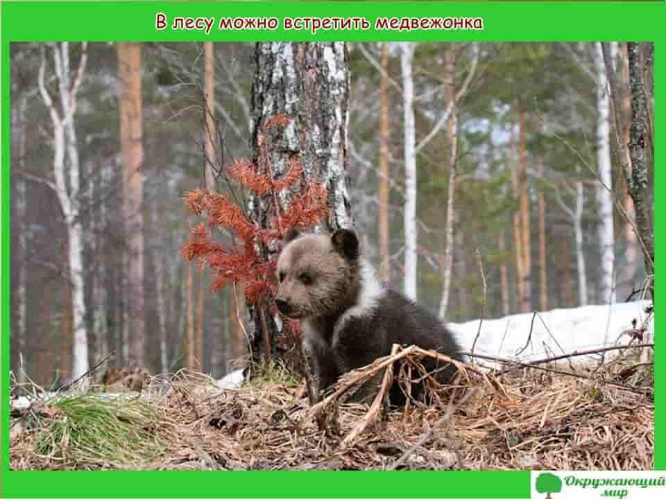В лесу можно встретить медвежонка