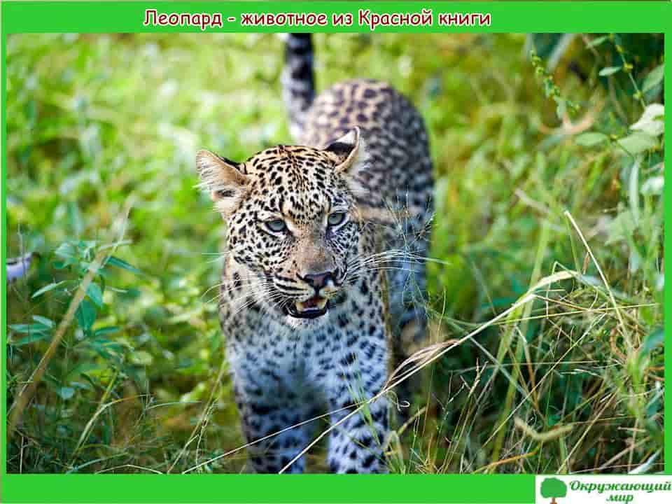 Леопард животное из Красной книги Дагестана
