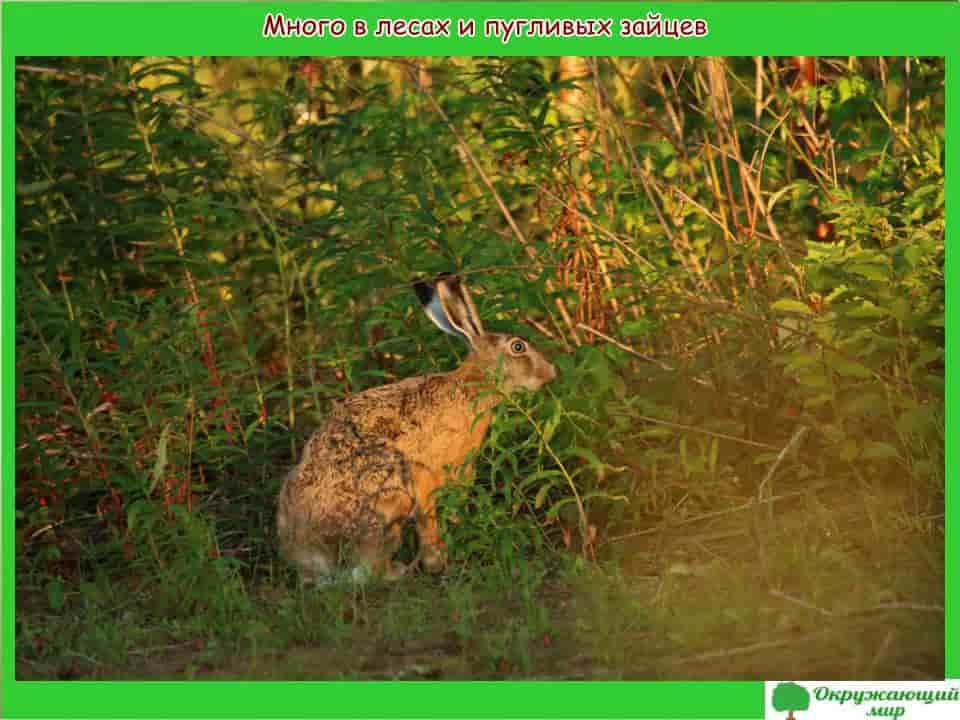 Много в лесах и пугливых зайцев