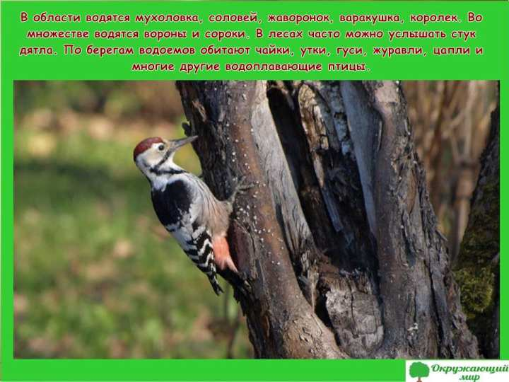 Птицы Ивановской области