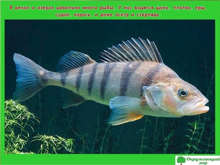Рыбы Воронежской области