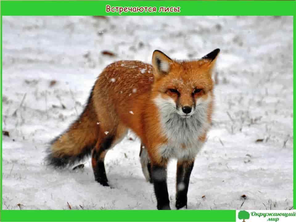 Встречаются лисы