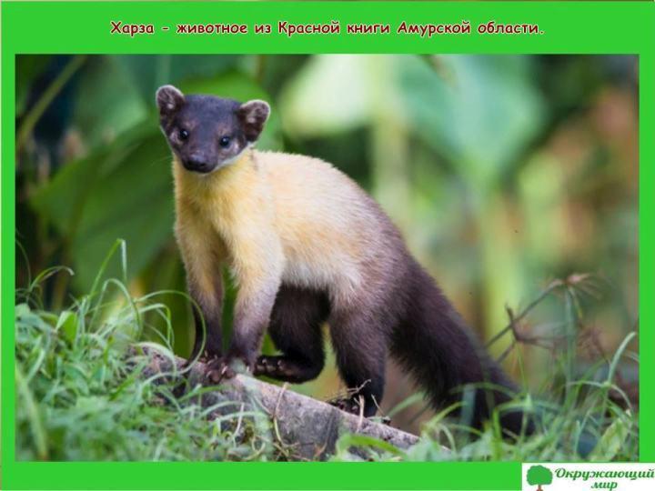 Животное из Красной книги Амурской области