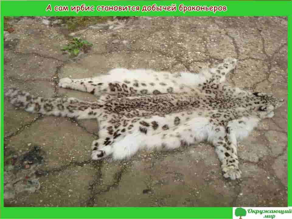 Ирбис добыча браконьеров