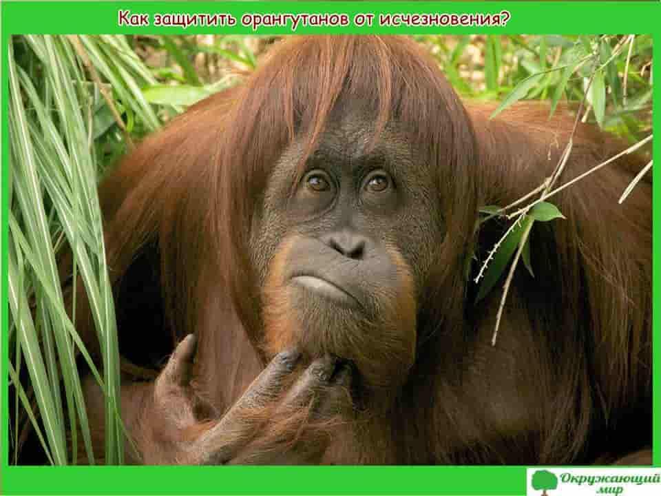 Как защитить орангутангов от исчезновения