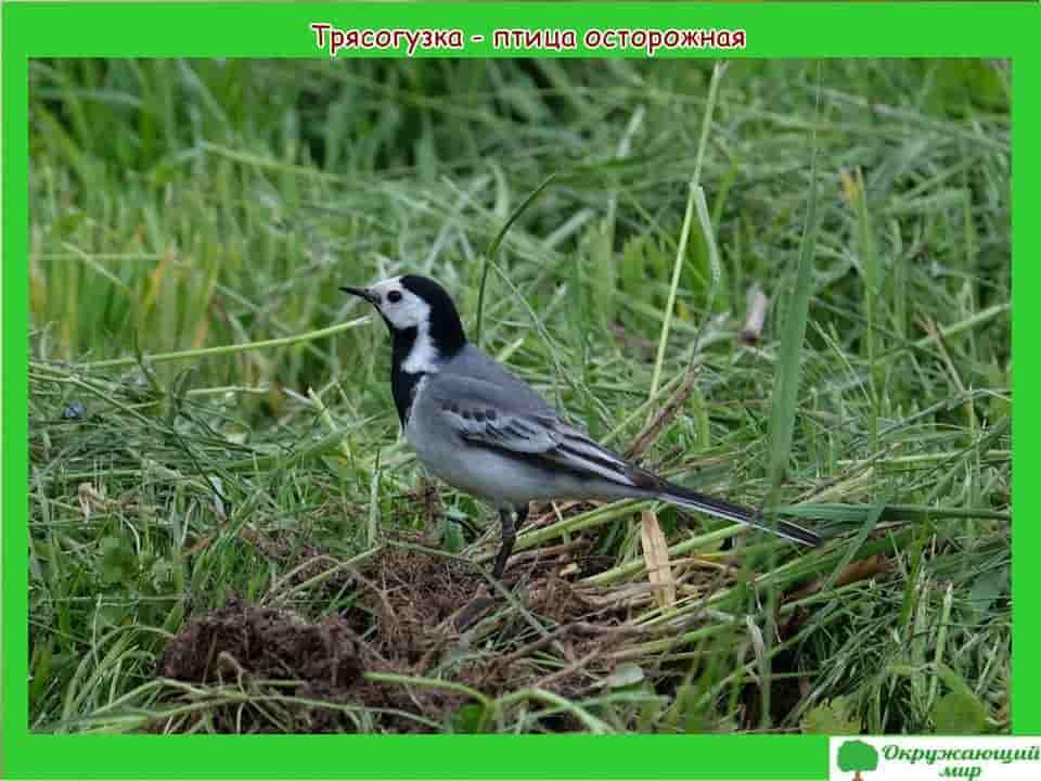 Трясогузка птица осторожная