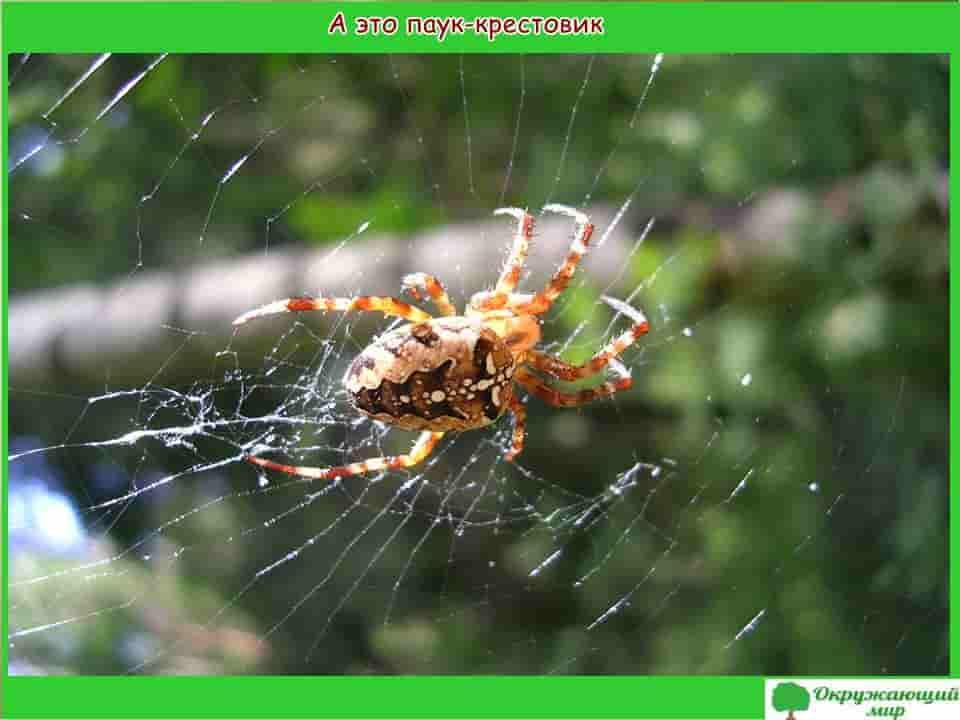 А это паук крестовик