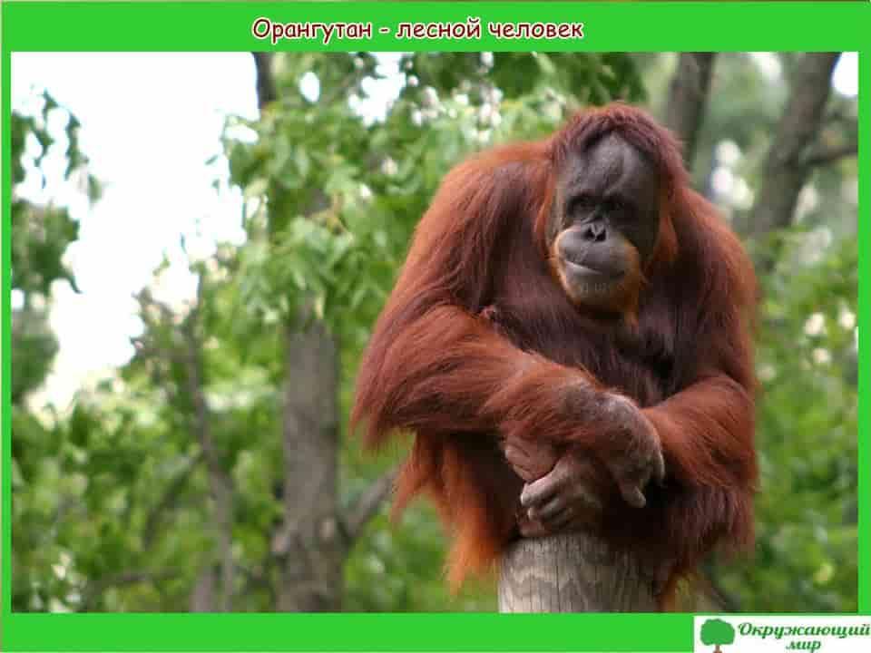 Орангутанг лесной человек