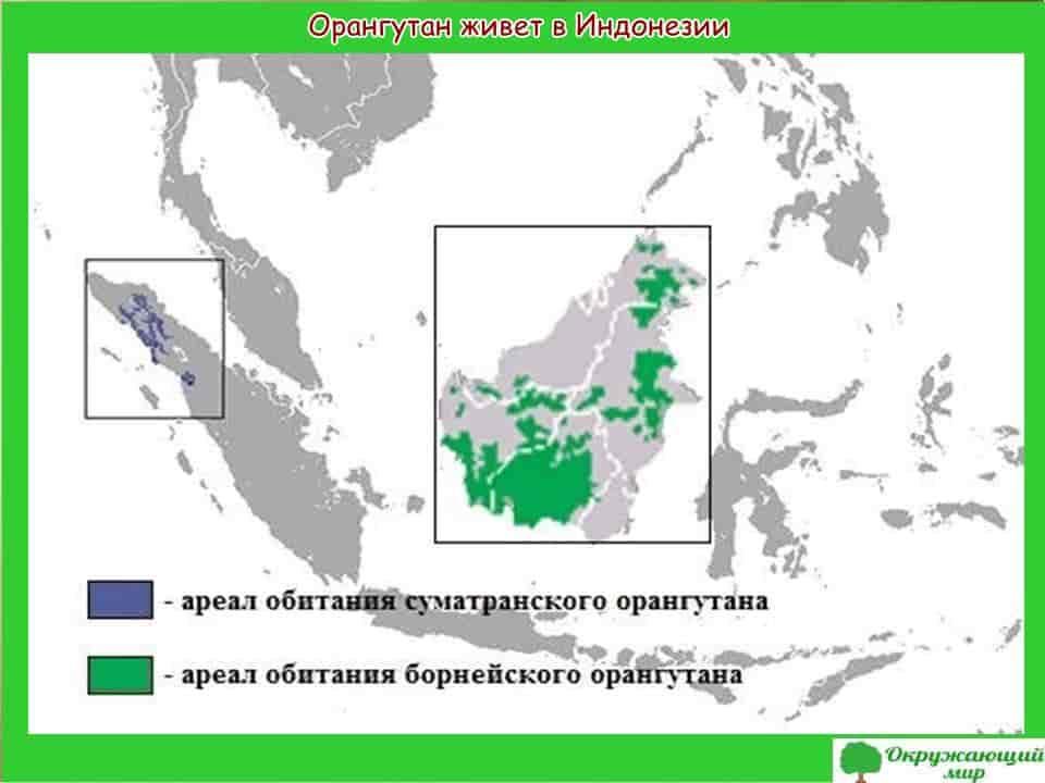 Орангутанг живет в Индонезии