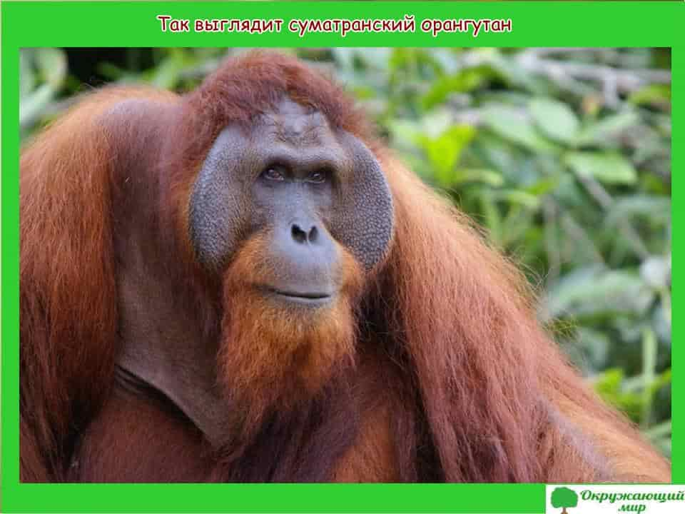 Сумантранский орангутанг