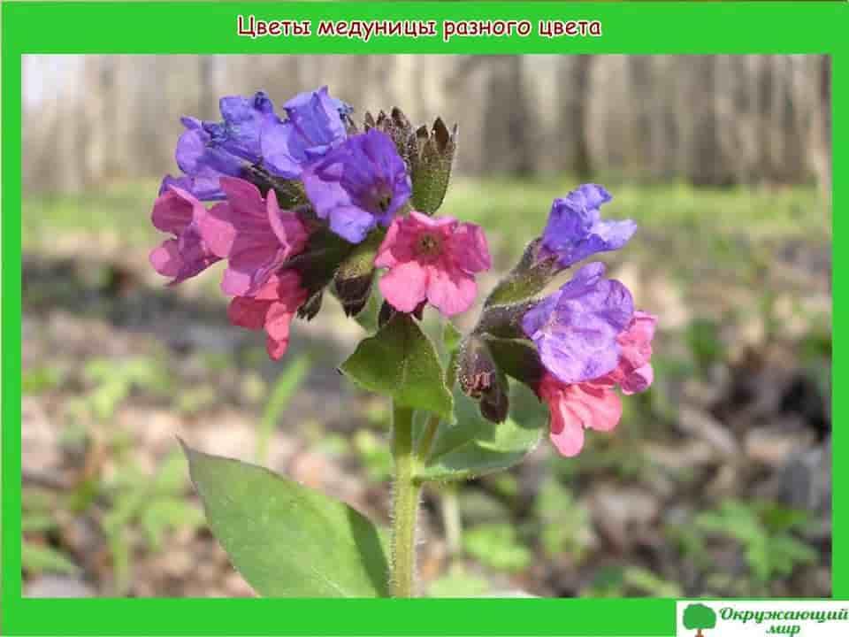 Цветы медуницы разного цвета