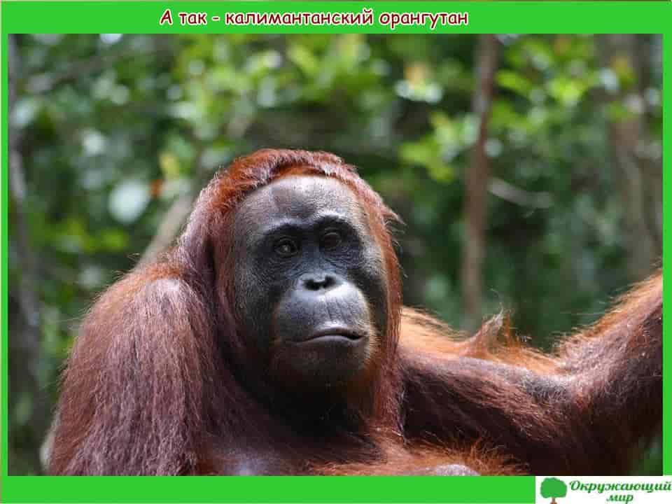 Калимантанский орангутанг