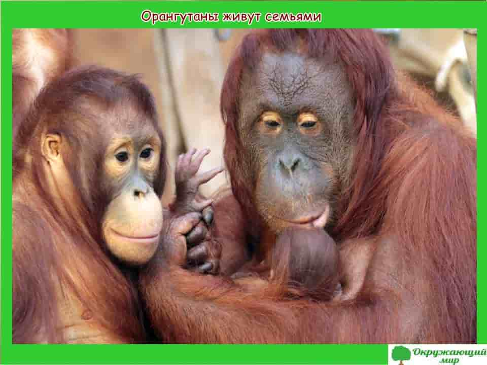 Орангутаны живут семьями
