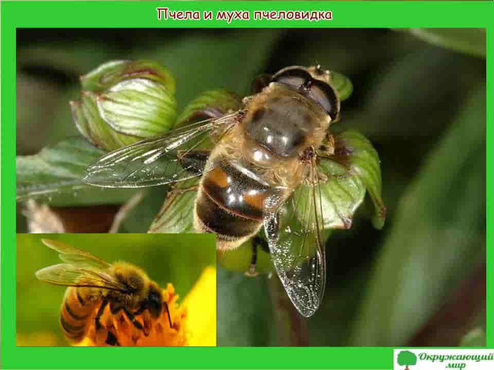 Пчела и муха пчеловидка