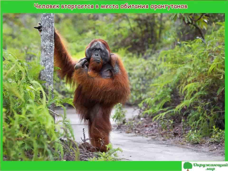 Человек вторгается в обитель орангутанга