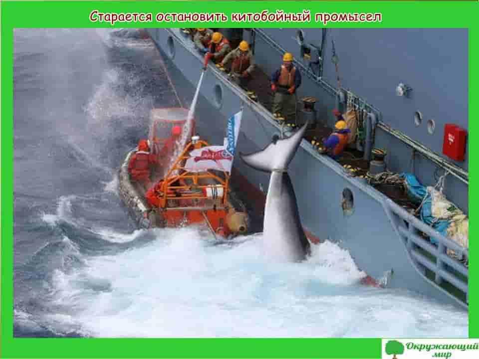 Старается остановить китобойный промысел
