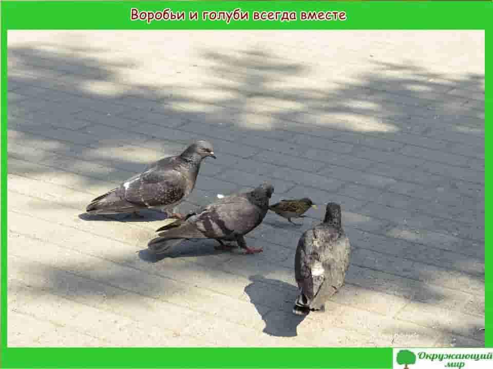 Воробьи и голуби всегда вместе