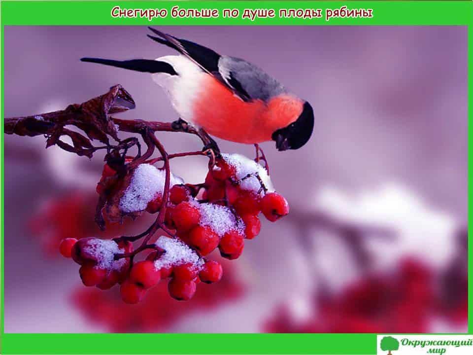Снегирю по душе ягоды рябины