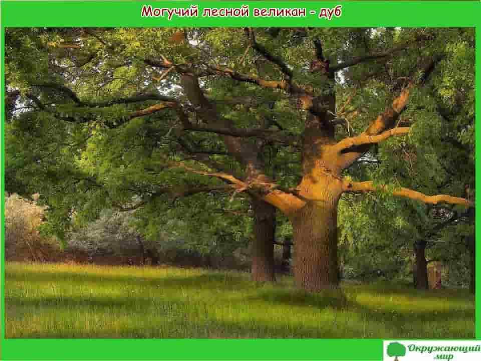 Могучий лесной великан дуб