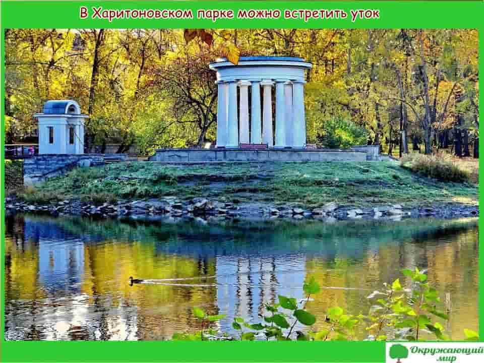 В Харитоновском парке можно встретить уток