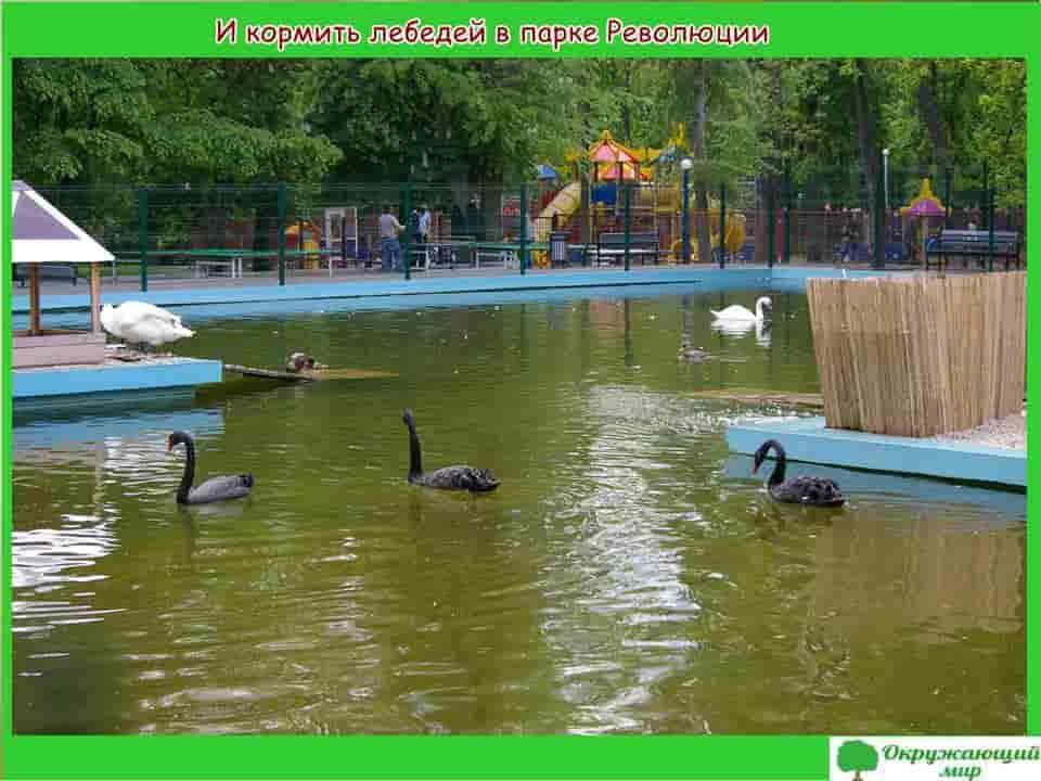 И кормить лебедей в парке Революции