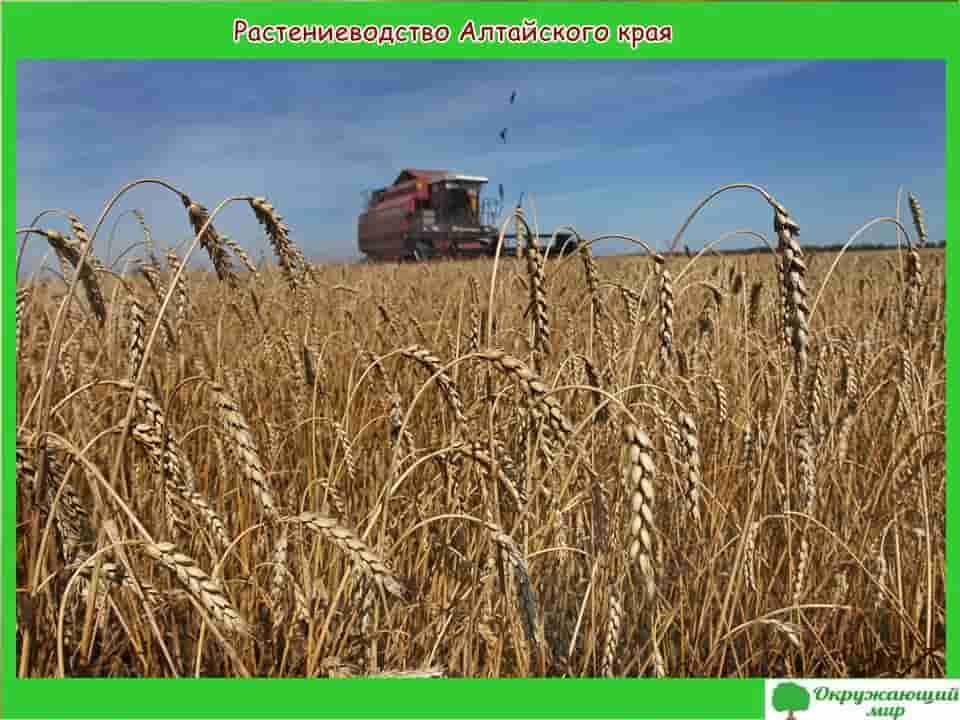 Растениеводство Алтайского края