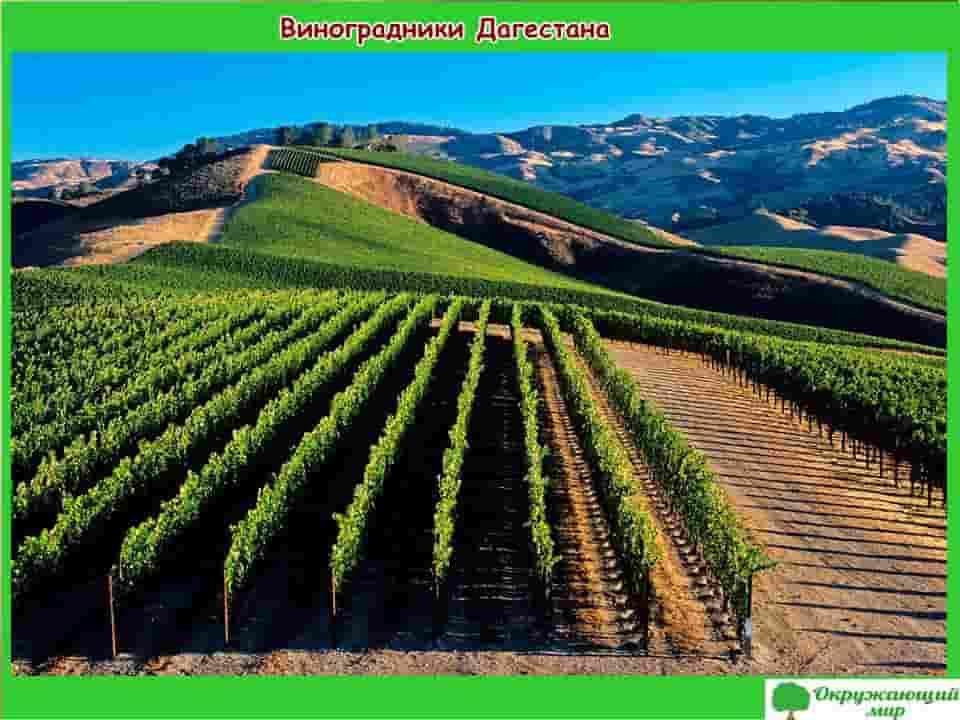 Виноградники Дагестана