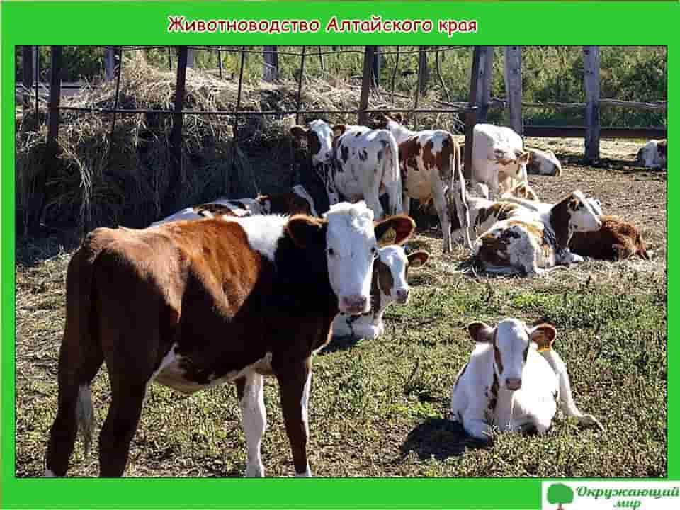 Животноводство Алтайского края