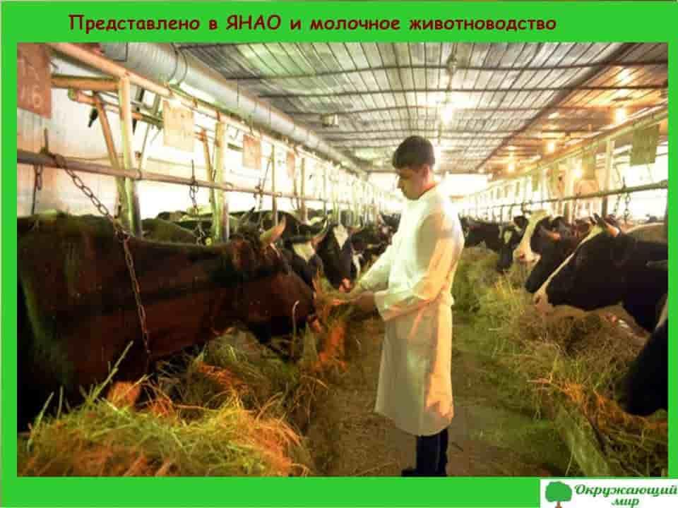 Молочное животноводство в ЯНАО