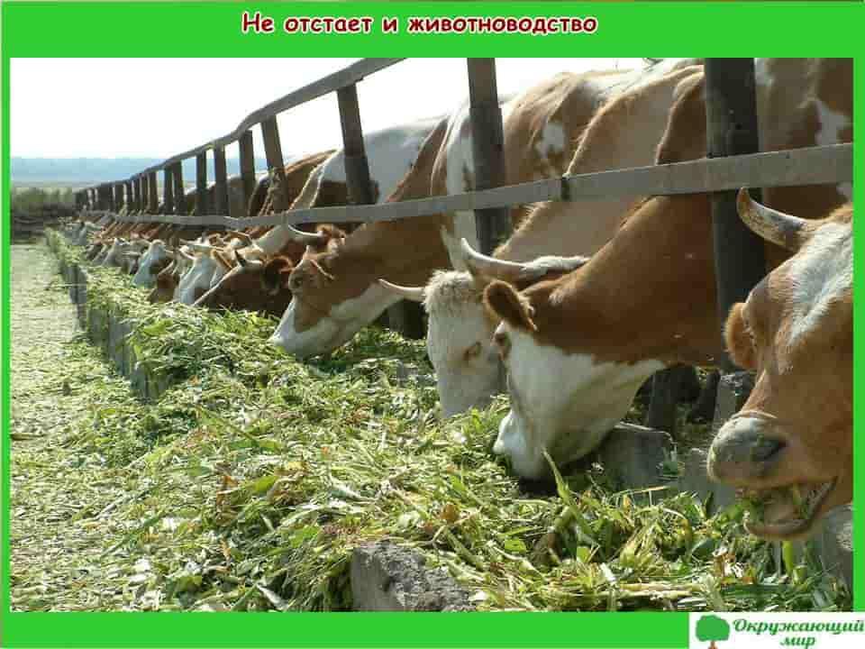 Не отстает и животноводство