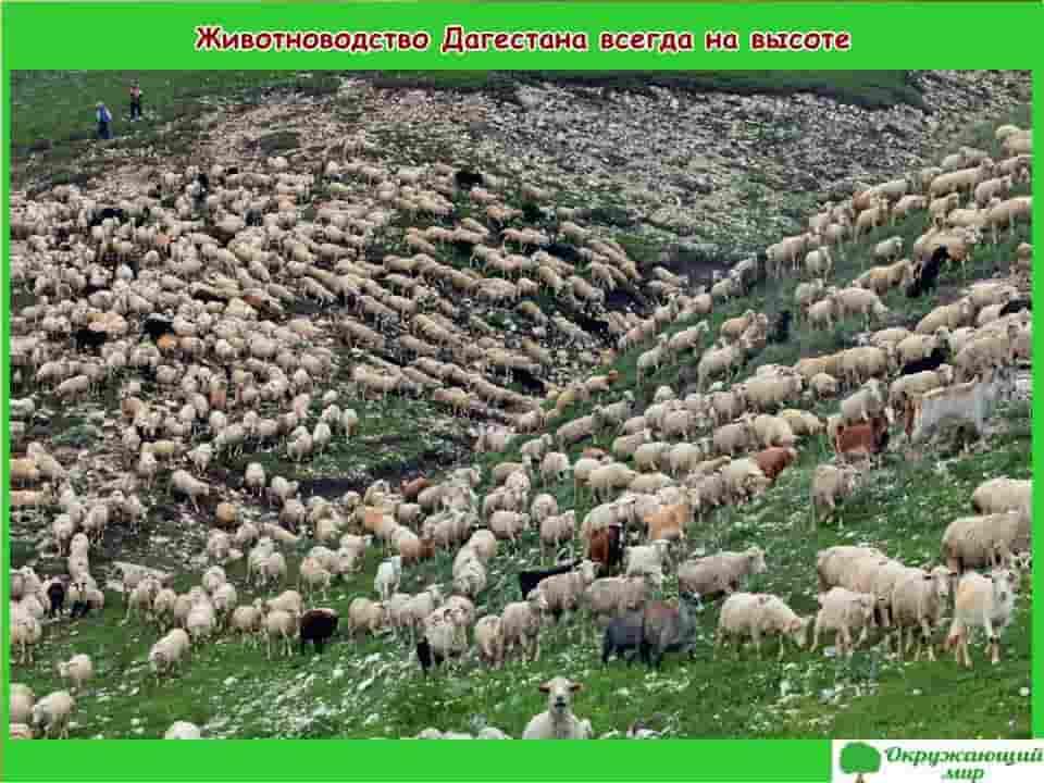 Животноводство Дагестана всегда на высоте
