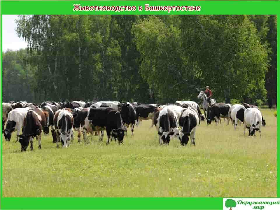 Животноводство в Башкирии