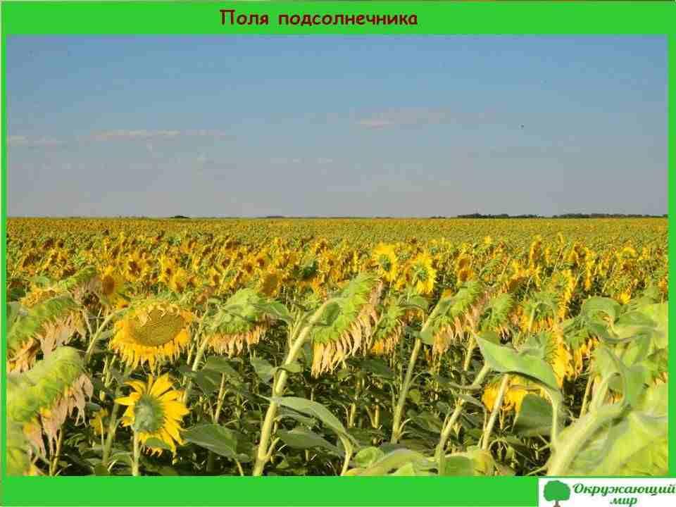 5. Поля подсолнечника в Саратовской области