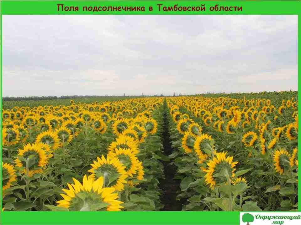 5. Поля подсолнечника в Тамбовской области