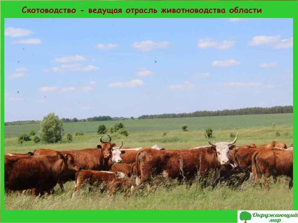 Скотоводство - ведущая отрасль животноводства области
