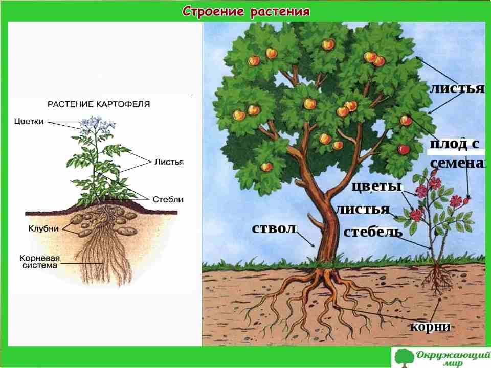 """Проект """"Разнообразие растений"""", 3 класс"""