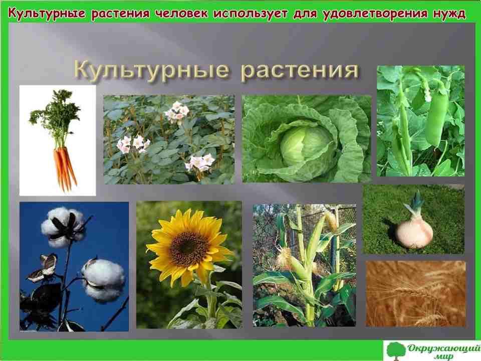Проект «Дикорастущие и культурные растения»